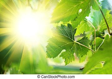 Sun shining through grapevine leaves, close-up