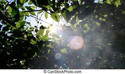 Sun shining through green tree foliage. Sunrays come through...