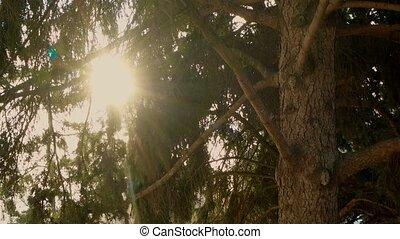 Sun shining through pine tree branches retro color footage