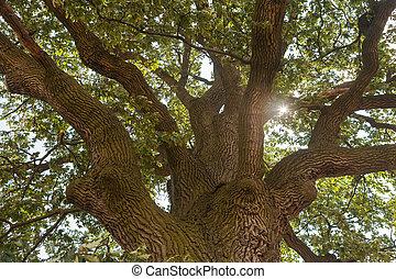 Sun shining through the oak tree crown