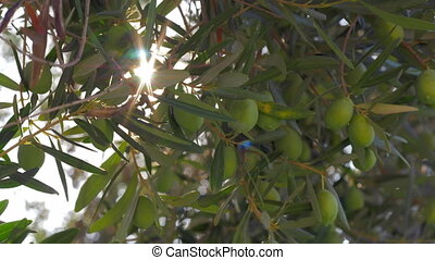 Sun shining through the olive tree branches - Close-up shot...