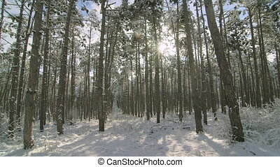 Sun shining through the pine trees covered with snow in winter forest