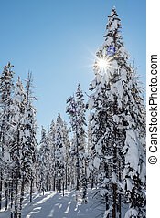 Sun star peaks througth a snow covered winter forest