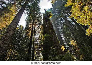 Sun Streaming Through Redwoods