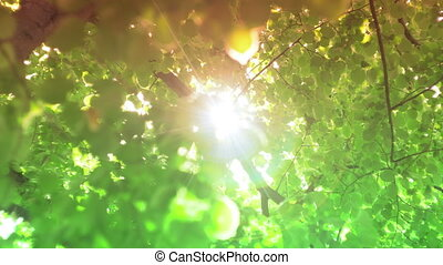 Sun Through Leaves With Lens Flare