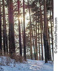 Sun through the pines in winter forest