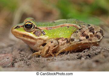 Sunbathing edible frog in between grass