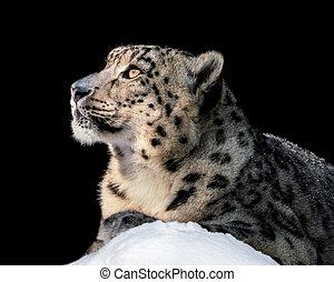 Sunbathing Snow Leopard II