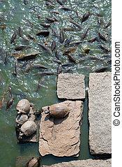 turtles on rocks and many carp