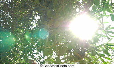 Sunbeam coming through the green olive tree branches - Slow...
