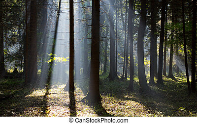 Sunbeam entering rich deciduous forest misty morning with...