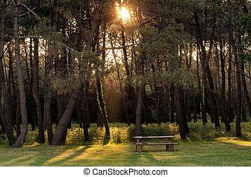 Sunbeam in pine tree forest