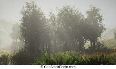 sunbeams, стоять, утро, хвойный, лето, entering, туманный
