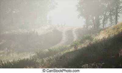 Sunbeams entering coniferous stand on a misty summer morning