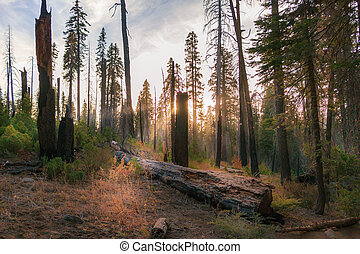Sunbeams filter through the trees and a fallen log amongst Sequoia redwoods
