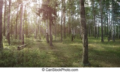 Rays of golden sunshine filter through tree branches in this peaceful, temperate forest wilderness area, as birds sing cheerful songs.