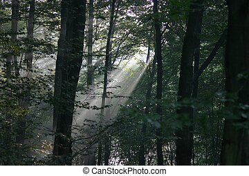 Sunbeams in a forest on the early morning