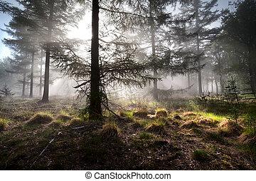 sunbeams in morning misty forest - sunbeams in morning misty...
