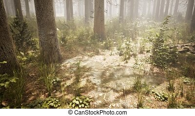 Sunbeams in Natural Spruce Forest