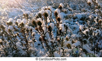 Sunbeams on snowy meadow. Snow of thistle plants in sunny...