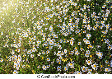 Sunbeams on the forest glade of daisies. Summer on the lawn.