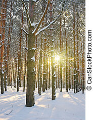 Sunbeams pour into the winter pine forest