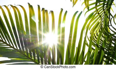 Sunbeams through Green Palm Leaves. Slow Motion.