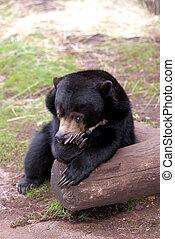 Sunbear - A sunbear pauses to take a rest on a log with a ...