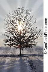 sunburst, 通过, 一, 橡木树