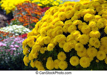Sunburst of Mums
