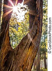 Sunburst Peeking Through Old tree in Forest