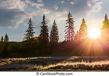 sunburst through spruce forest. beautiful nature scenery of...