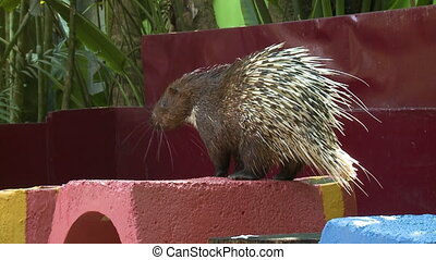 Sunda Porcupine On Red Block - Handheld, medium close up...