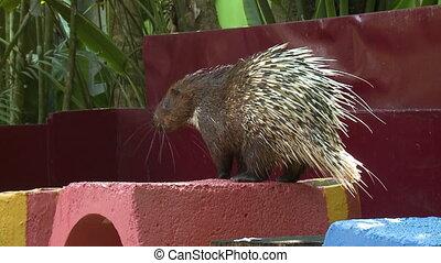 Sunda Porcupine On Red Block - Handheld, medium close up ...