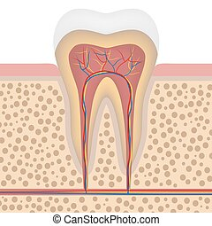 sunde, hvid tand, detaljeret, anatomi