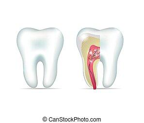sunde, hvid tand, og, kors sektion, i, den, tand