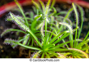 Sundews carnivorous plant. Drosera Capensis close-up view
