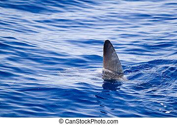 sunfish, vin, komen uit, water, als, een, haai, metafoor