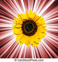 sunflower abstract background