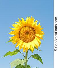 Sunflower against a blue sky