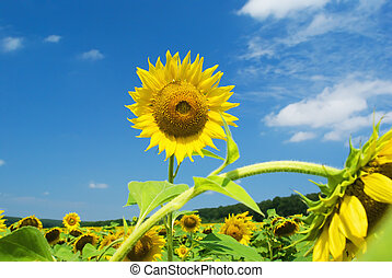 Sunflower against the blue sky with clouds