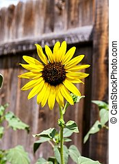 Sunflower Against the Fence