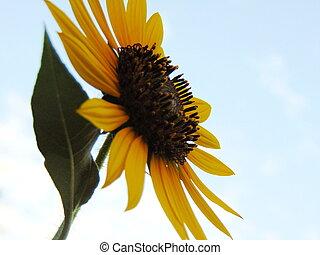 Sunflower against the sky