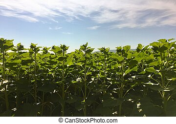 Sunflower agriculture. Green nature. Rural field on farm land in summer. Plant growth. Farming scene. Outdoor landscape. Organic leaf. Crop season. Sun in the blue sky