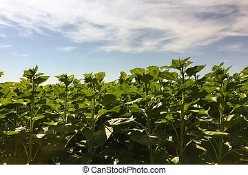Sunflower agriculture. Green nature. Rural field on farm land in summer. Plant growth. Farming scene. Outdoor landscape. Organic sunflower leaf. Crop season. Sun in the blue sky