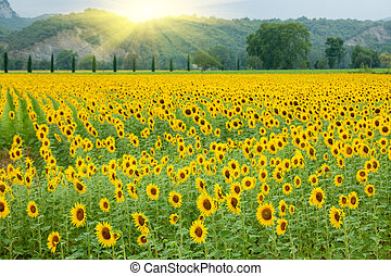 sunflower field landscape with summer sunlight