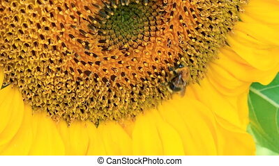 Bumblebee and Flowering Sunflowers