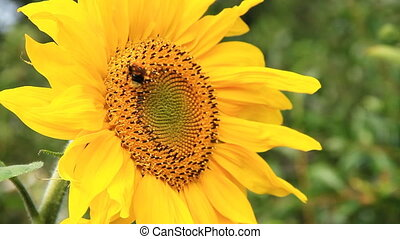 Sunflower and Bumblebee - Bumblebee and Flowering Sunflowers