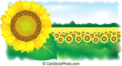 Sunflower and field. Vector illustration.