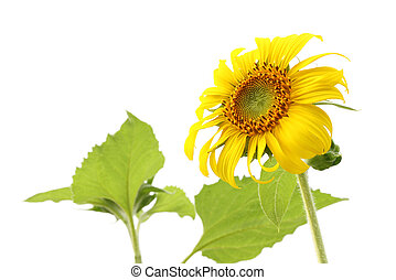Sunflower and leaf isolated on white background.